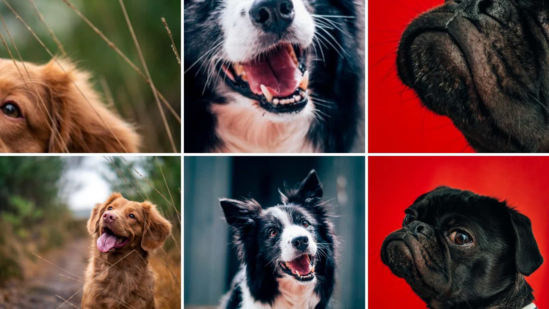 Guess the breed dog contest